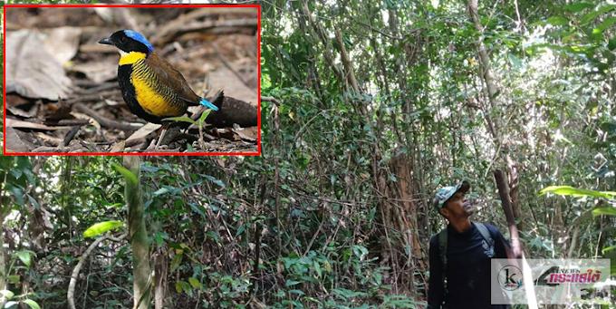 กระบี่-ยังไม่สิ้นหวังหลังทีมสำรวจได้ยินเสียงแล้ว นกแต้วแล้วท้องดำ เชื่อยังไม่สูญพันธุ์จากเมืองไทย ยันยังคงอาศัยเขตที่ราบต่ำเขานอจูจี้ในพื้นที่ 2 จุดใหญ่