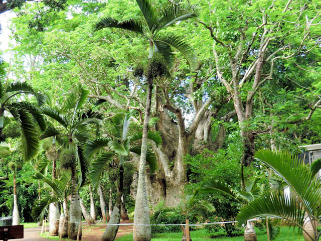 Riesen Baobab