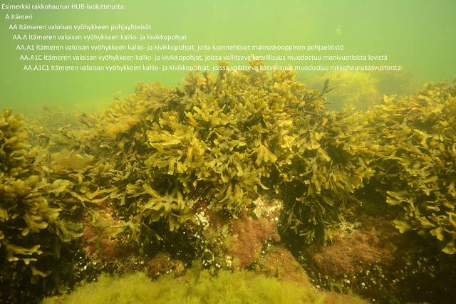 Vedenalainen kuva rakkohaurukasvustosta, joka kasvaa kallion päällä