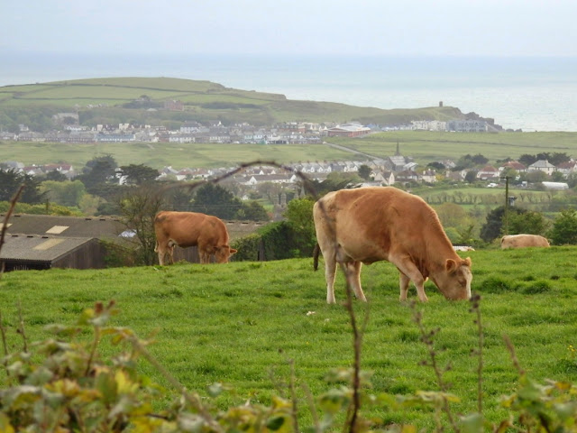 Cattle in the fields and a view to the sea