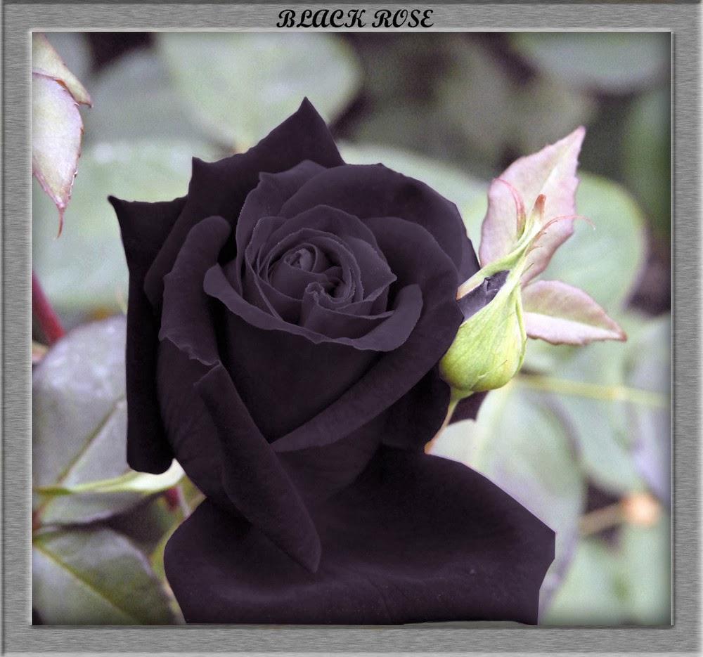 Photo Gallery Black Rose Flower Wallpaperphoto Gallery