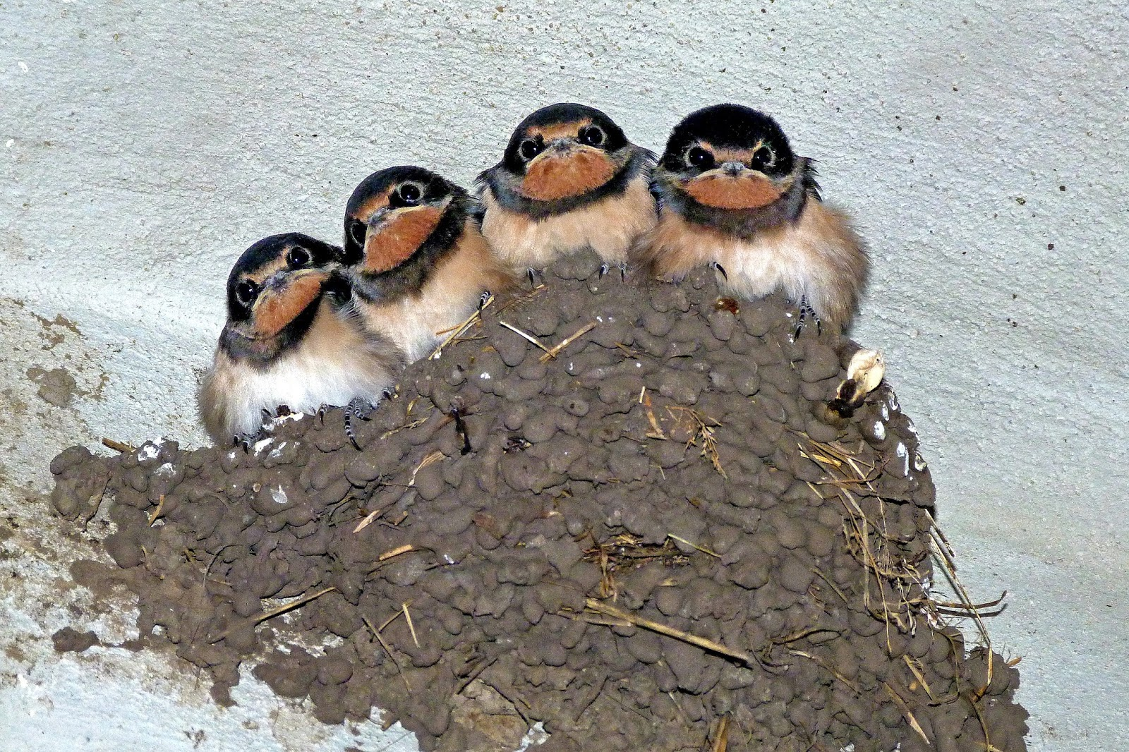 Swallow birds in their nests.