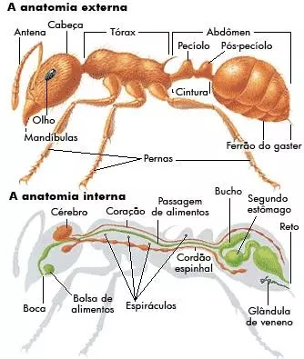 Anatomia das formigas