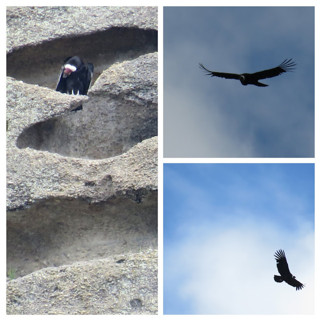 Birds of Patagonia: Andean Condors