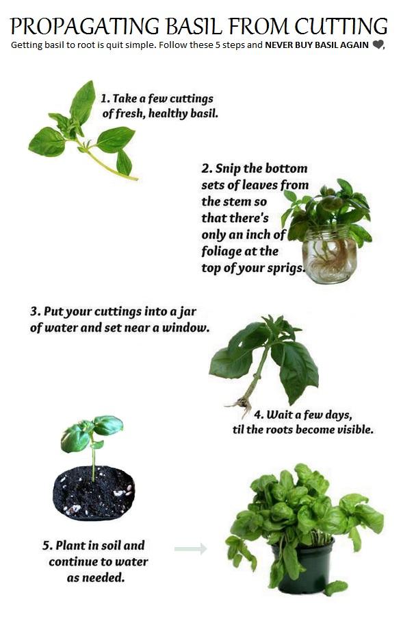 how to keep thai basil fresh roots