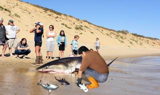 Άνδρας βοηθά νεκρό καρχαρία να γεννήσει 3 μωρά στην παραλία και αυτό είναι το ωραιότερο βίντεο της ημέρας