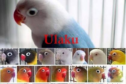 LOVEBIRD Warna Terbaru Beserta Namanya