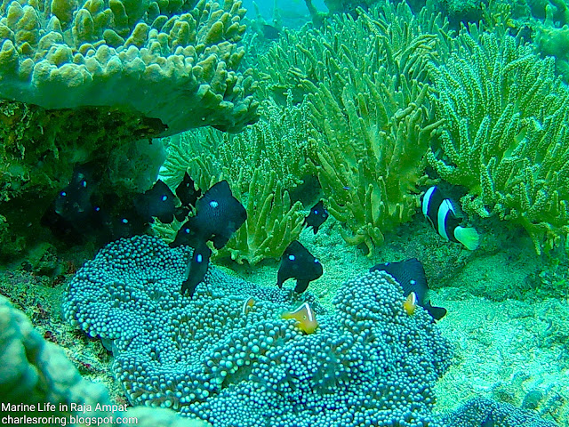 Orange-skunk anemonefish, Three-spots Dascyllus and damselfish