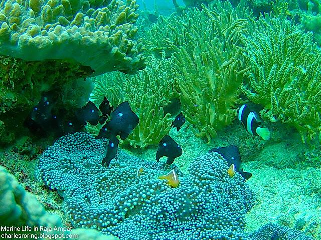 Orange-skunk anemonefish, Three-spots Dascyllus and damselfish