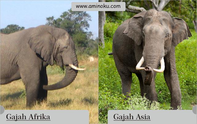 Perbedaan antara gajah afrika dan gajah asia