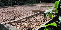 muranga 20 macadamia variety
