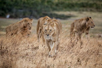 Lions - Photo by Jeff Lemond on Unsplash