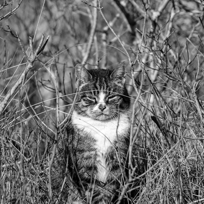 photo of tabby and white cat hiding in grass with black and white filter