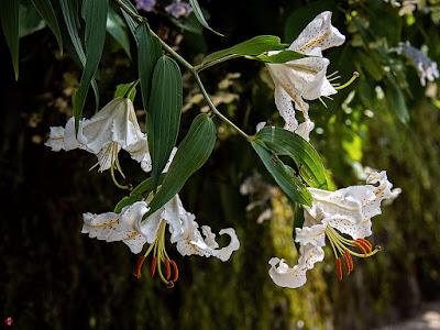 Lily flowers: Engaku-ji