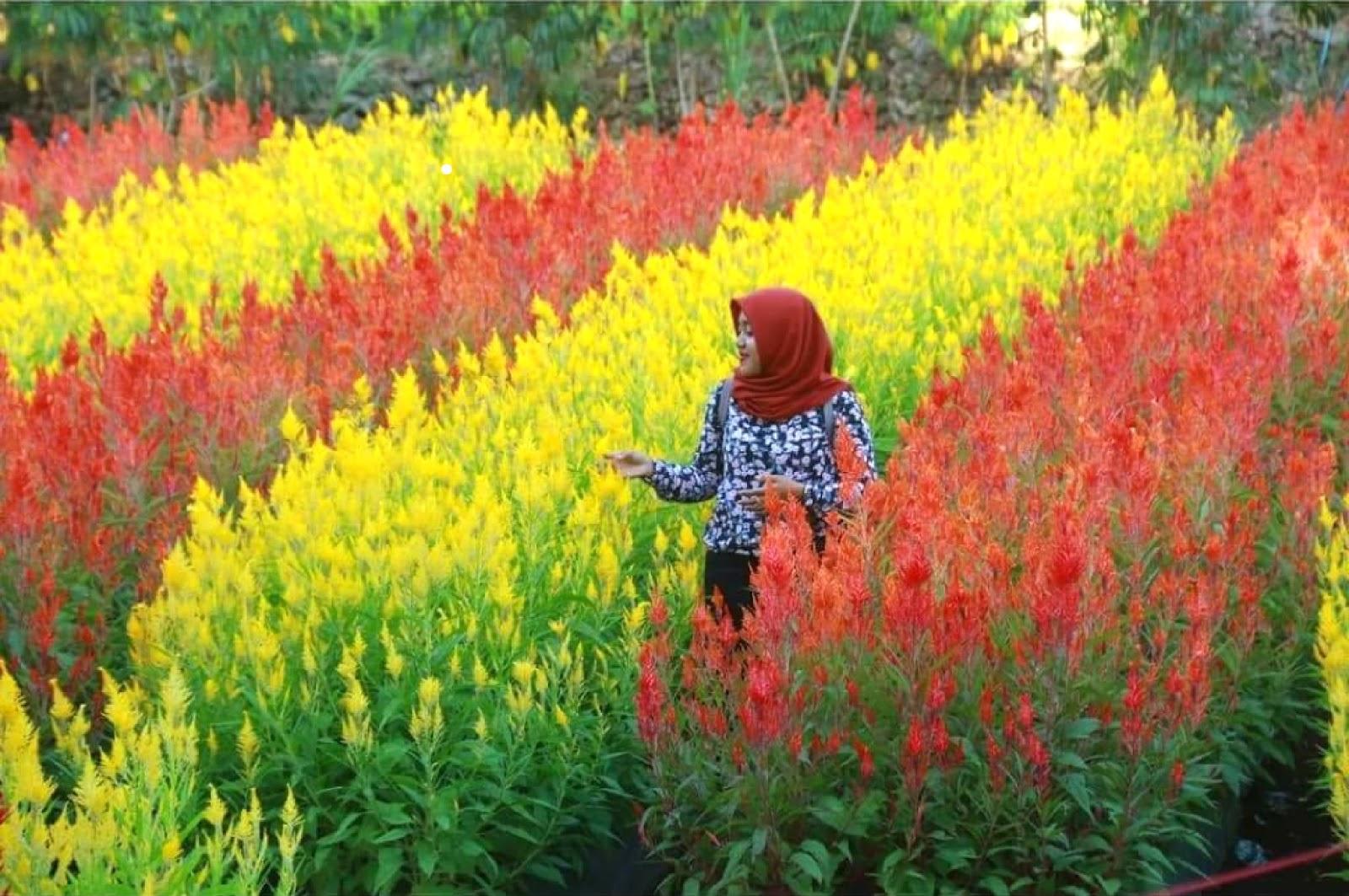 10 Gambar Taman Bunga Celosia Gunugkidul, Rute + Lokasi dan Penginapan Terdekat