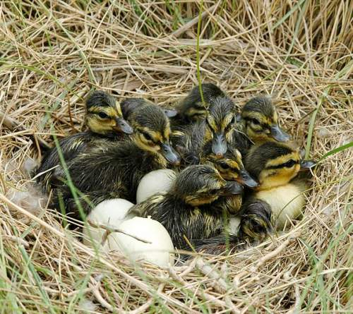Birds of North America - Photo of American black duck hatchlings - Anas rubripes