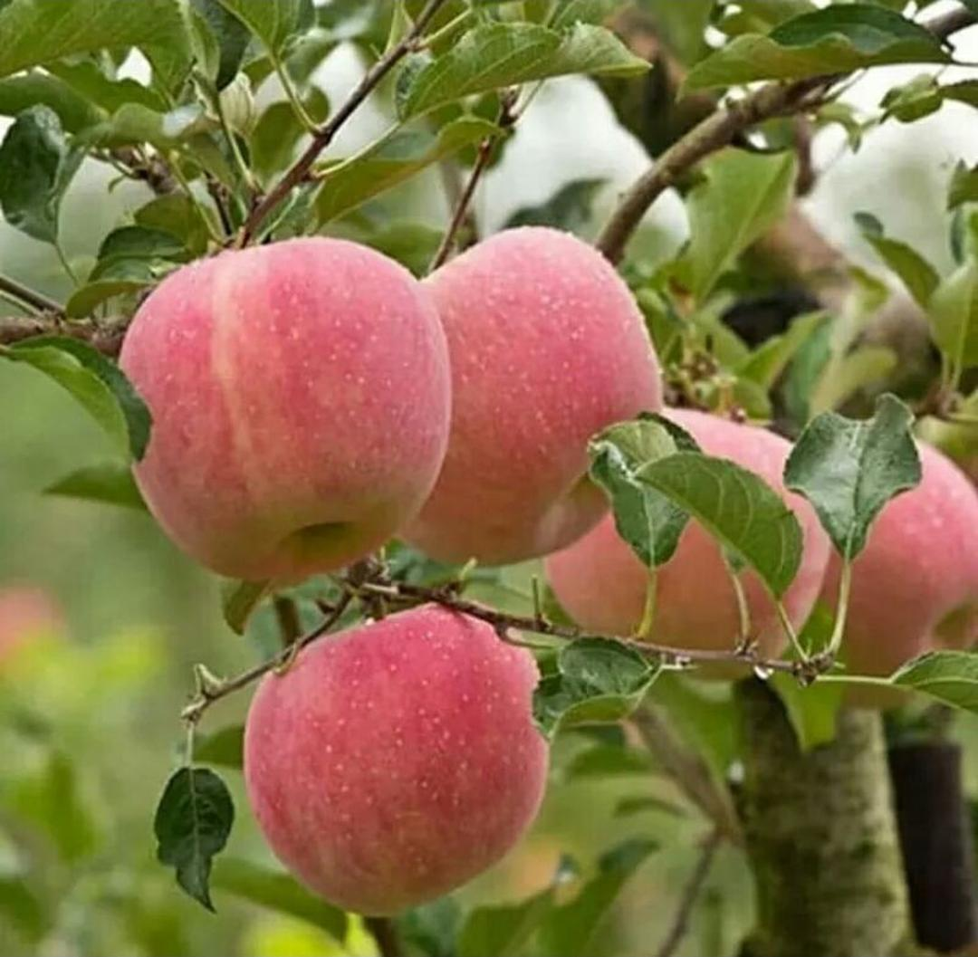 Siap Kirim! bibit buah apel fuji Kota Bekasi #bibit buah