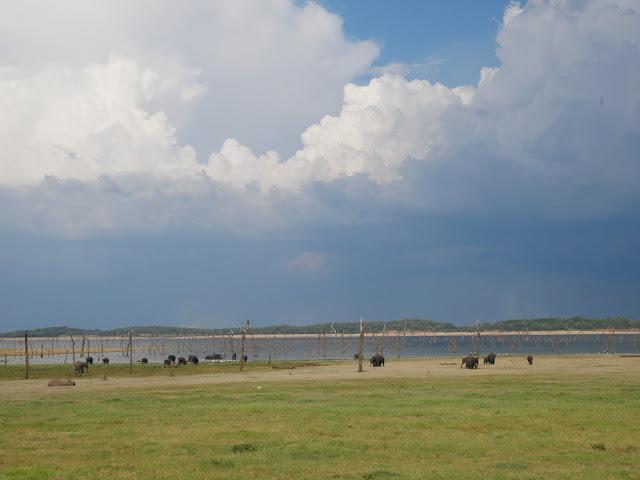 Elephants in Minneriya National Park, Sri Lanka
