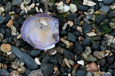Purple Varnish Clam