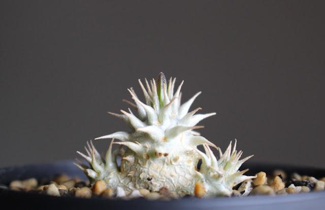 たにことたにく 植物 塊根植物 パキポディウム ブレビカリックス Pachypodium Brevicalyx の画像
