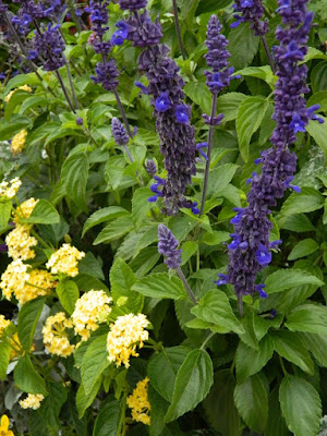 Salvia 'Mystic Spires Blue' and Lantana camara 'Luscious Bananarama' flowers at the Toronto Botanical Garden by garden muses--not another Toronto  gardening blog