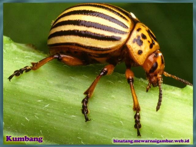 gambar binatang kumbang