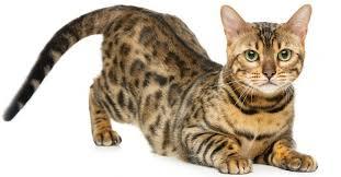Kucing Allerca Hypoallergenic