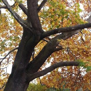 koca çınar  yeşil çınar bahçede yeşil çınar çınar toprak kozalak dev çınar uzun ömürlü ağaç
