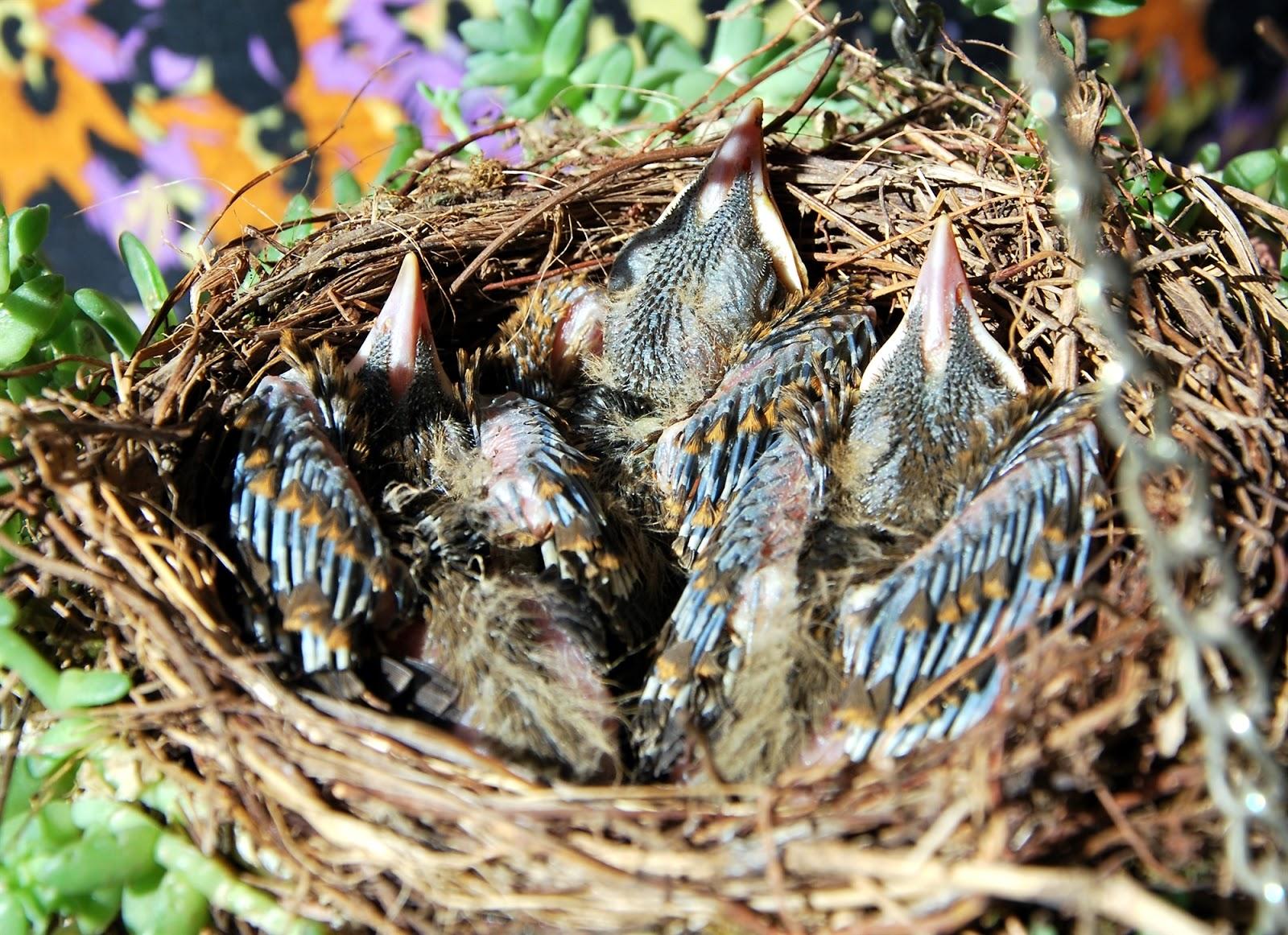 Polluelos apretados pollas largas