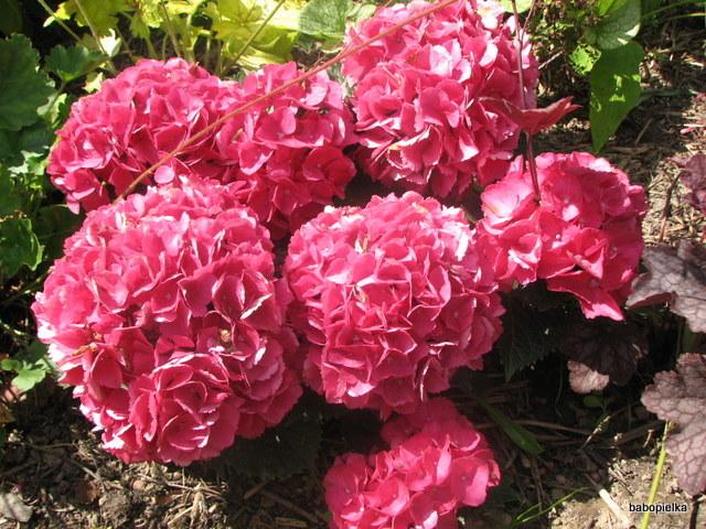 Hydrangea Hortensja Kwietnia 2013