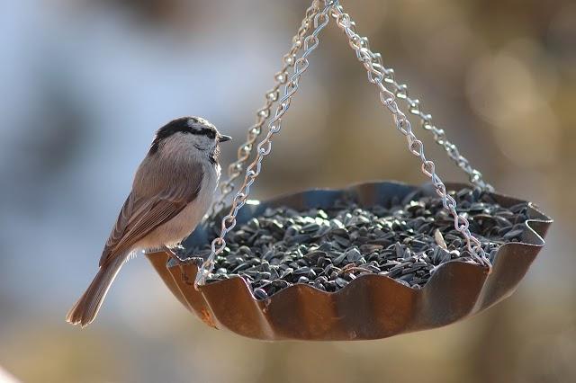 Hálózatos módszerrel kutatták a madárének komplexitását magyar tudósok