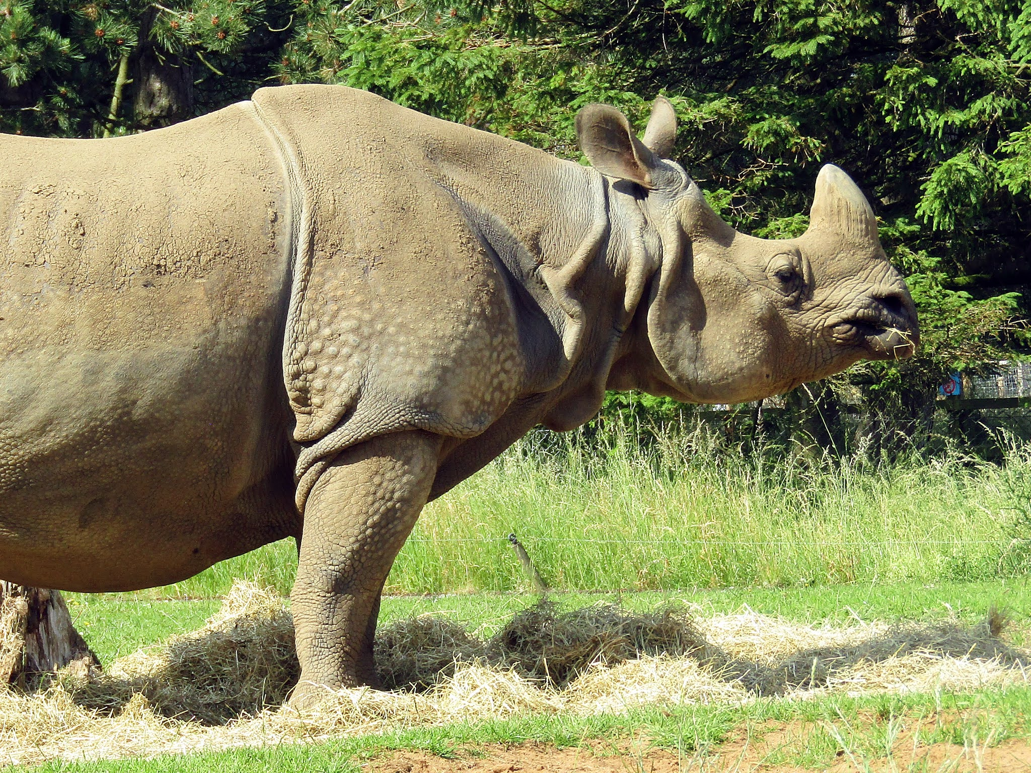 A photo of an adult greater one-horned rhino at Whipsnade Zoo.