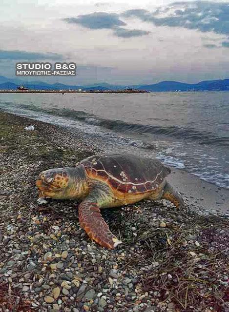 Νεκρή θαλάσσια χέλωνα στη Νέα Κίο