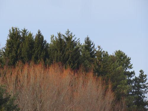 orange willow tree tips against evergreens