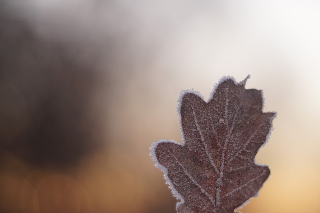 frosty winter leaf