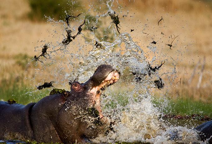 Steve Bloom - Wildlife Photography Hippo