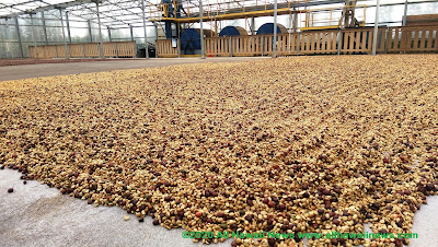 Coffee beans drying in Hawaii