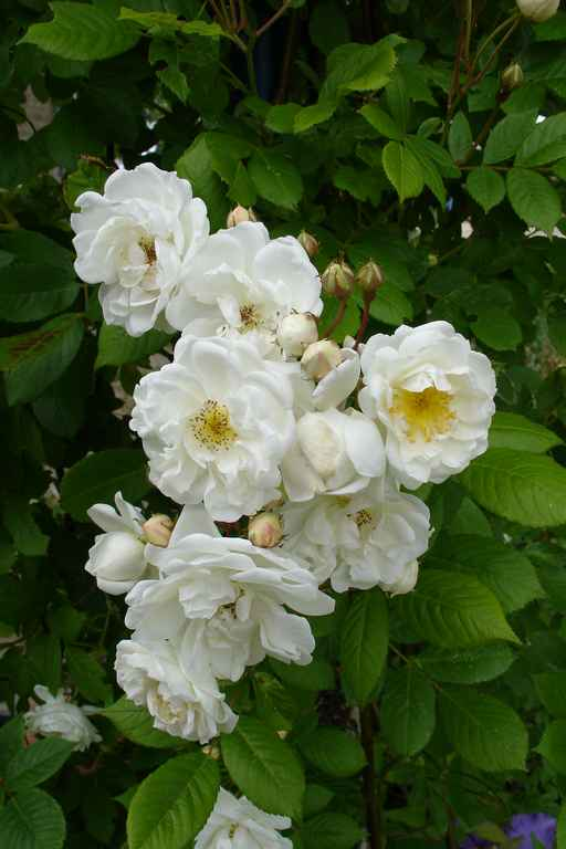 neige d'avril : une floraison incomparable et parfumée en mai….