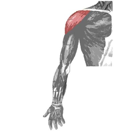 Músculo deltoide resaltado de rojo