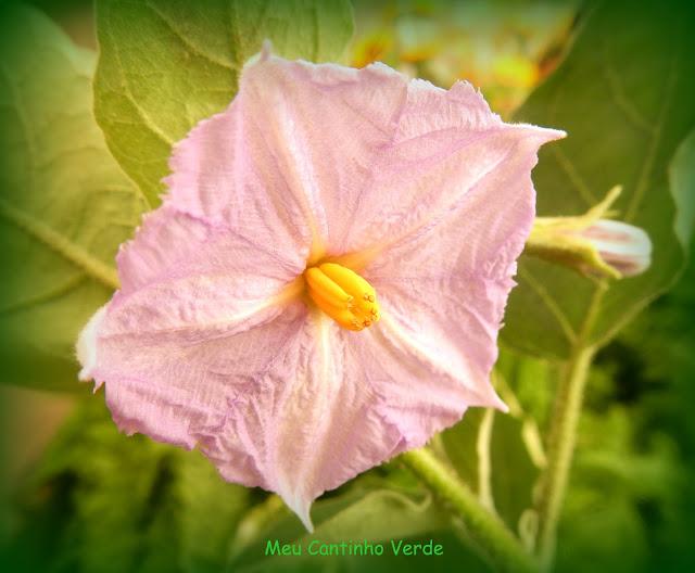 flower Solanum ovigerum )