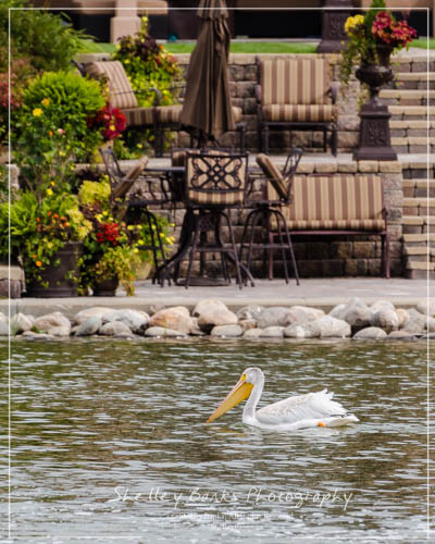 Juvenile American White Pelican, swimming in front of house in Regina, SK.  Copyright © Shelley Banks, all rights reserved.