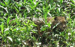 Jaguar, Panthera onca, Ibaca