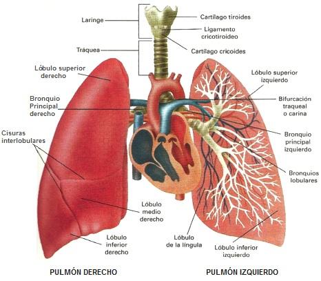 Dibujo de los pulmones del cuerpo humano indicando sus partes