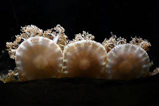Cassiopea species