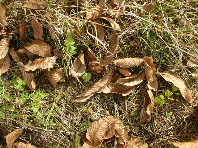 Walnut and walnut leaves on the ground. Photo by Loire Valley Time Travel.