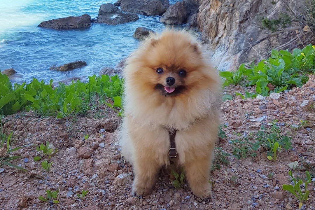 Pomeranian Pomeranian Price List Of Dog Breeds Information