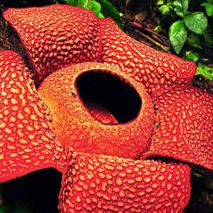 Gambar Flora dan Fauna Indonesia Bunga Rafflesia di Sumatera Macam Jenis Hewan Tumbuhan