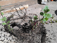Mint spreads under the surface via a large main root