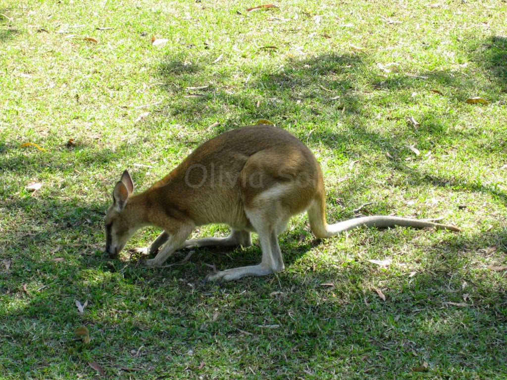 Wallaby, Katherine Gorge, Northern Territory, Australie