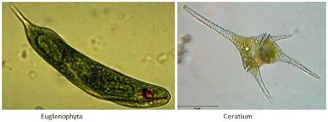 Contoh Protista yang memiliki ciri-ciri seperti tumbuhan (ganggang/algae)